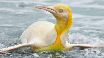 historico: toman la primera foto de un pingüino amarillo