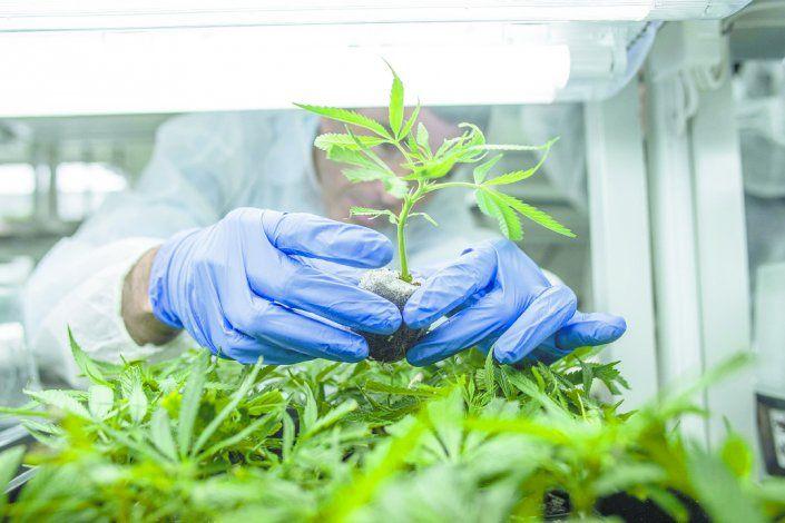 Ley cannabis: acceso y más producción