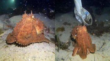 Pulpo es viral en Instagram al probarse un sombrero en el fondo del mar
