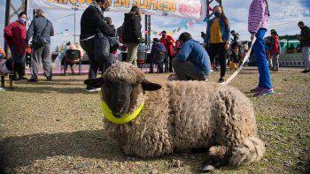 ¿Dónde está Wimphi? El desesperado pedido de ayuda por una oveja mascota