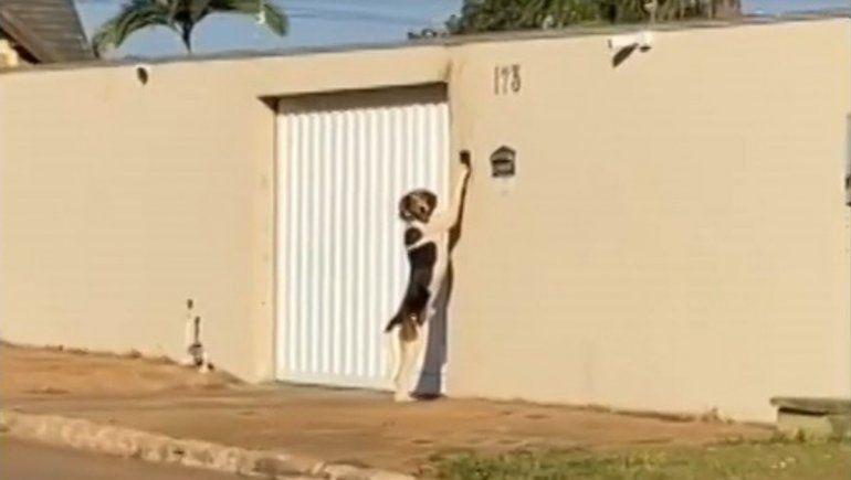 Divertido perro es viral en Twitter por saber tocar el timbre de su casa.