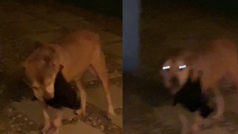 En TikTok se viralizó el momento en el que un murciélago le chupaba la sangre a un perro.