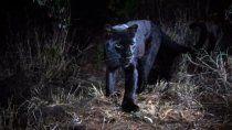 tragico: pago para acariciar un leopardo negro y termino en el hospital