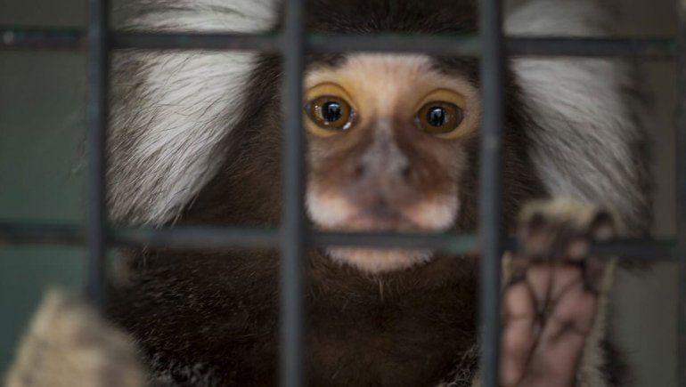 Trasladan a monos domésticos a un santuario natural