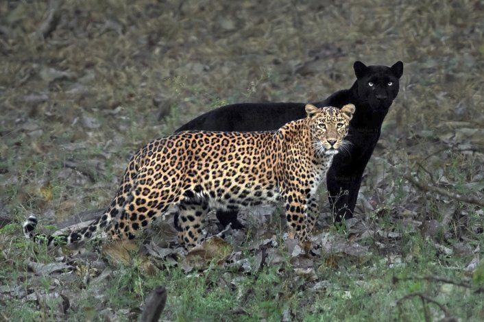 Captan en India a pantera negra y leopardo juntos ¡Insólito!