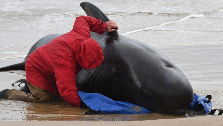 Australia: 380 ballenas murieron al quedar varadas