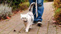 ¿puedo sacar a pasear a mi gato? los pros y contras