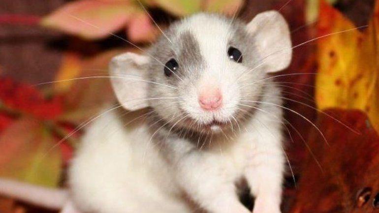 Conocé qué significa soñar con ratones