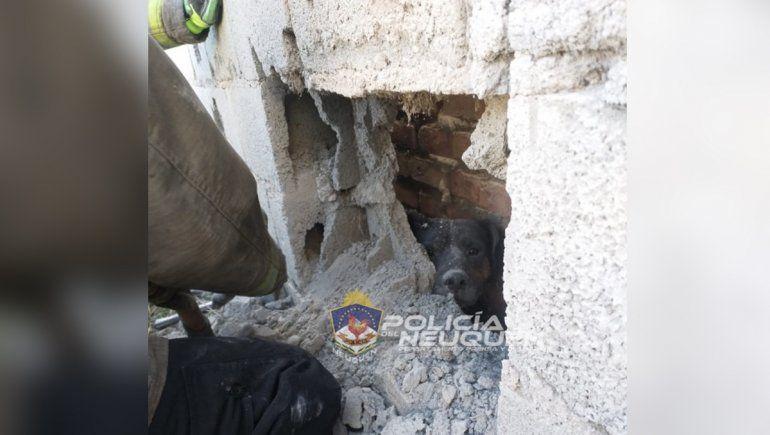 Zapala: rescataron a un perro atrapado entre dos paredones
