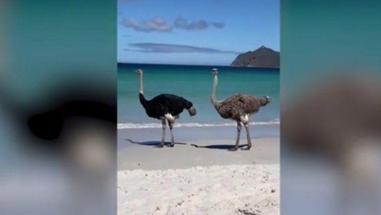 Las dos aves del video que circula en YouTube paseaban por una playa de Cape Point