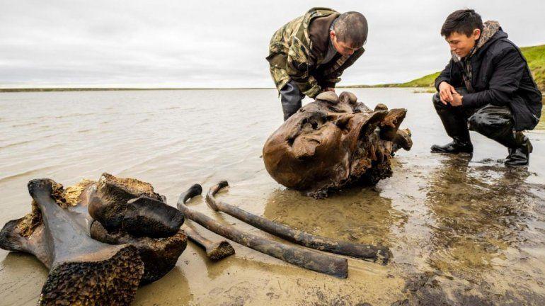 Por el deshielo, hallan el esqueleto completo de un mamut