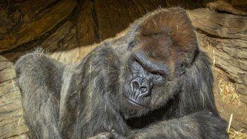 un grupo de simios en estados unidos son los primeros animales en recibir la vacuna