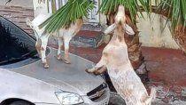insolito video: cabras destrozaron autos en plena ciudad