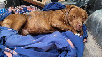El gordo, un pitbull que sufrió un ataque salvaje y hoy vive en la casa de Juan.