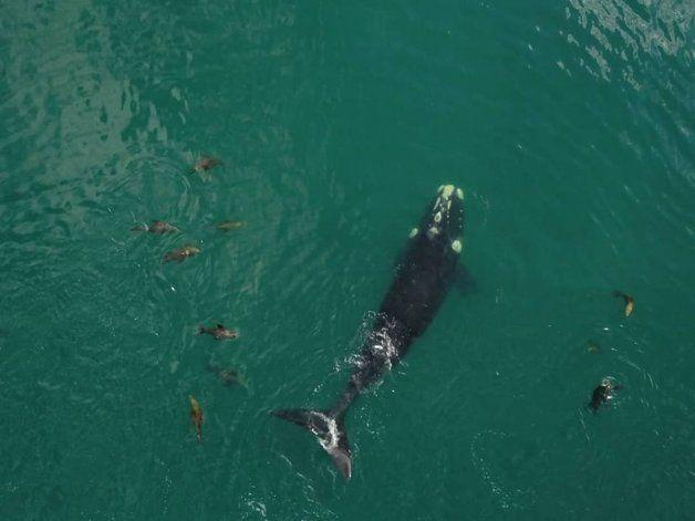 Una decena de lobos marinos rodearon a la ballena y durante varios minutos juguetearon a su alrededor.