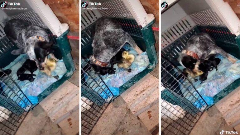TikTok: una perrita confunde a un pato con su cría y no lo deja salir