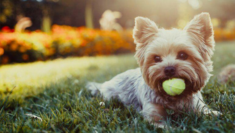 TikTok: un adorable truco para personas con perros de raza pequeña. | Foto referencial.