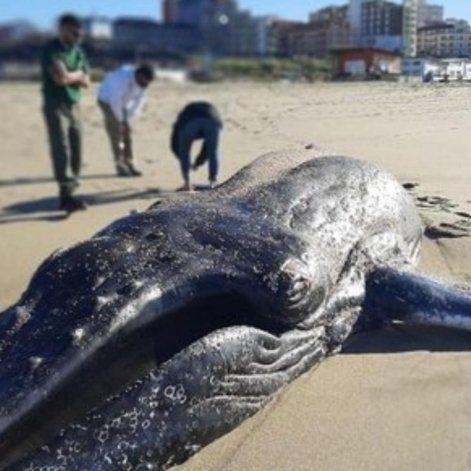 Mar del Plata: apareció una ballena jorobaba muerta en la orilla
