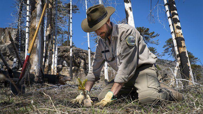 Plantaron 300 araucarias en un bosque quemado del Lanín