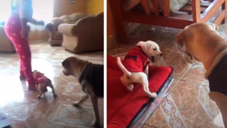 TikTok: perrito muerde a su dueña y su madre lo regaña.