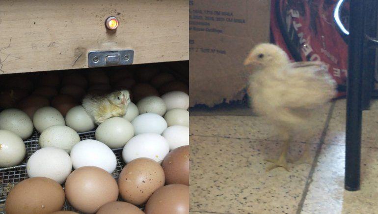 Mi papá está criando un pollo, el desopilante tuit viral de un neuquino