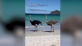 Las dos aves del video que circula en YouTube paseaban por una playa de Cape Point, en Sudáfrica