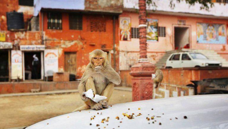Un grupo de monos secuestró a unas bebés recién nacidas y se viralizó en Twitter.