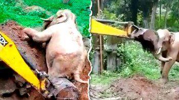 conmovedor: elefante agradece a excavadora que lo rescato