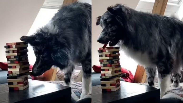 Perro astuto juega Jenga y se hace viral en YouTube.