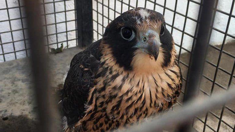 Encontraron un halcón peregrino en pleno centro cipoleño