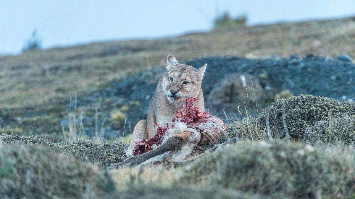 Los Ataques De Pumas Son Un Problema Sin Solucion