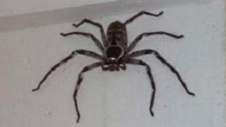 Viral: fue a buscar su cuaderno y encontró una araña gigante