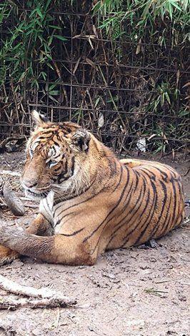 Entre los animales en cautiverio había dos tigres y diez pumas.