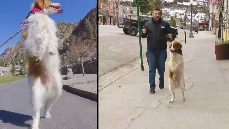 Dexter el hermoso perro viral que camina en dos patas tras un accidente.