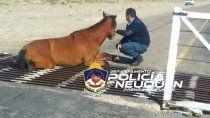 zapala: una yegua habia quedado atrapada en el aeropuerto