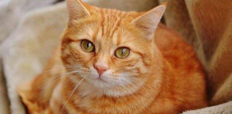 Garfield: el gato que fue regalado y caminó 64 kilómetros para volver a su casa