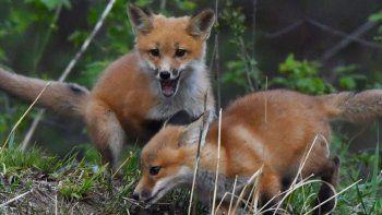 pronostican infecciones en animales salvajes