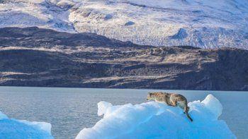 un puma quedo atrapado en un tempano flotante del lago argentino