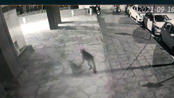 Grabaron a un puma paseando por el centro de Bariloche