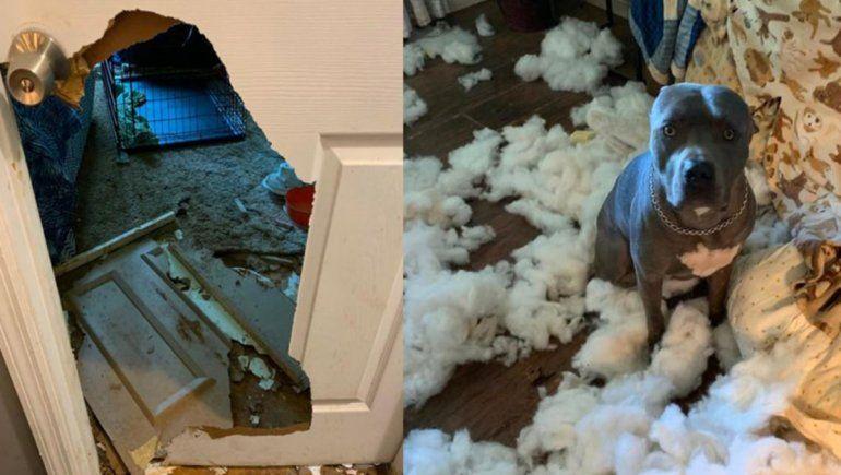 Este perro es viral porque destrozó una puerta y el sofá de la casa