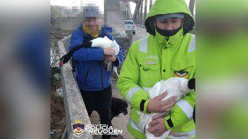 Sorpresa: dos cisnes interrumpieron el tráfico sobre el puente carretero