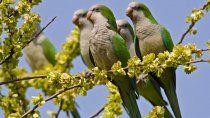 guerra contra las cotorras: autorizan a voltear los nidos