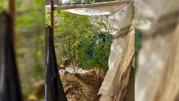 en ocho allanamientos, secuestraron 34 plantas de marihuana