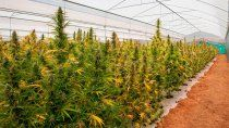 cannabis medicinal: presentaran un proyecto para fomentar la industria