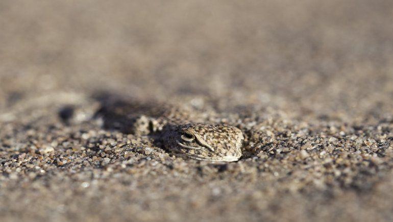 La lagartija de las dunas de Añelo se camufla con la arena.